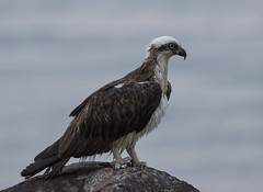 Wet Fleck (1 of 1) (angeladowntown) Tags: osprey ballina raptor fisheagle