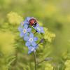 La vie en couleurs **---+ (Titole) Tags: coccinelle ladybug ladybird titole nicolefaton myosotis sedum yellow blue red colorful droplet thechallengefactory unanimouswinner bestof15