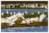 Psst, James! Who's he calling now? (JohnKuriyan) Tags: paloalto california unitedstates us baylands white pelican