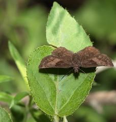 Staphylus iguala (Williams & Bell, 1940) (carlos mancilla) Tags: insectos mariposas butterflies staphylusigualawilliamsbell1940 staphylusiguala bell'sscallopwing hesperiidae pyrginae canoneos700d canoneosrebelt5i ef100mmf28macrousm