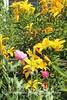 Benton Daylilly Farm (29) (Framemaker 2014) Tags: benton daylily farm garden flowers columbia county pennsylvania endless mountains united states america