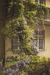 Tbilisi. Georgia (RikkiBoom) Tags: tbilisi georgia bloom blossom wall window flowers caucasus yard travel trip green violet branch