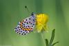 Fetthennenbläuling auf Hahnenfuß   chequered blue (AnBind) Tags: makro wachau tagfalter meinegegend bläuling österreich dürnstein scolitantidesorion morgen technik höhereck fetthennenbläuling 2018 schmetterlimg tiere orte