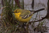 YELLOW  WAGTAIL // MOTACILLA  FLAVA  FLAVISSIMA (16cm) (tom webzell) Tags: naturethroughthelens