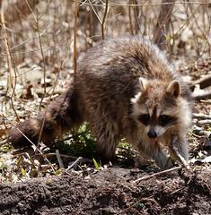 Raccoon. (Gillian Floyd Photography) Tags: raccoon