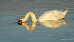 Mute Swan (Bob Gunderson) Tags: birds california cygnusolor lasgallinas marincounty muteswan northbay northerncalifornia swans