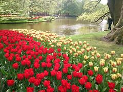 Tulips by the Lake (U A Satish) Tags: tulips keukenhofgardens holland flowers lake lisse trees uasatish