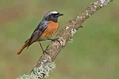 Redstart  M (drbut) Tags: redstart phoenicurusphoenicurus chats avian bird birds trees nature wildlife canonef500f4lisusm