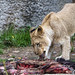 Young lioness with meat