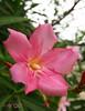 Nerium oleander (A. K. Hombre) Tags: neriumoleander flower bloom blossom flora plant flor fleur flores macro dof depthoffield garden
