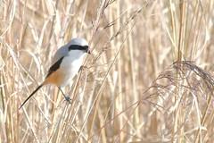 Long Tailed Shrike (Lanius schach) (Tamal Kishore Acharya) Tags: bird long shrike birds birdphotography birding birdsinthewild birdshare birdid