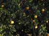 Cabo Verde Cape Verde North Fogo Orange Tree © Kapverden Kapverdische Inseln Orangenpflanze © (hn.) Tags: africa afrika caboverde capeverde frucht fruit ilha ilhadofogo insel island kapverde kapverden kapverdischeinseln macaronesia mosteiros nordfogo northfogo obst orange orangebush orangeplant orangetree orangenbaum orangenpflanze paiantonio sotavento westafrica westafrika heiconeumeyer copyright copyrighted
