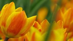 Folla (roberto.piscitello) Tags: tulipani tulips messertulipano pralormo piemonte flowers fiori colors colore aiolefiorite