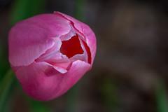 beautiful inside and out (Pejasar) Tags: tulip pink flower bloom blossom garden garvaqnwoodlandgardens hotsprings arkansas nikon d7200 beauty color