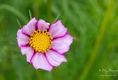 Vaisseau cosmique (croqlum) Tags: jardin fleur personnel cosmos bokeh macrophotographie flower garden macro macrophotography nature