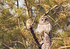 Drowsy Owl (Tiara Rae Photography) Tags: owl bird birdwatching feathers tree needles pine nature april omaha nebraska wildlife animals