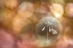 Dans ma bulle. (SweeP_64) Tags: dans ma bulle aurore des cardamines papillon butterfly macro proxi cyrille masseys 6ril
