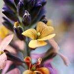 belle de printemps thumbnail