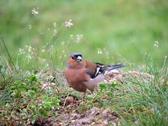 Fringilla coelebs (M.L Photographie) Tags: oiseau bird beautifulbird nature naturelover birdlover animal birds