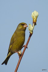 Carduelis chloris.   Greenfinch. (pete Thanks for 5 Million Views) Tags: carduelis chloris greenfinch wickedweasel
