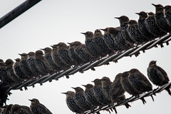 "Starlings ""pit-stop"" (-Lervåg-) Tags: bird starling sitting many phone line resting fugler norway norge grimstad fevik stær mange"