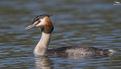 Great Crested Grebe (Mick Erwin) Tags: great crested grebe nikon afs 600mm f4e fl ed vr lens d850 mick erwin stoke trent staffordshire wildlife nature