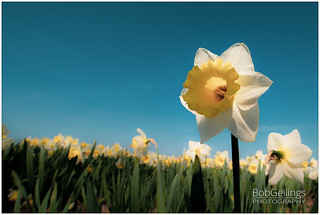 Narcis in Lis