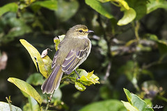 Golden-faced Tyrannulet (Zimmerius chrysops) (Frank Shufelt) Tags: goldenfacedtyrannulet zimmeriuschrysops tyrannidae tyrants passeriformes songbirds aves birds wildlife elensueño quindío colombia southamerica march2018 20180304 0701 february2017 6469