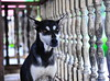,, Tinker Bell ,, (Jon in Thailand) Tags: red green yellow eyes dogeyes dogears dogexpression woodenpickets twodots jungle themonkeytemple nikon nikkor d300 175528 abandonedabusedstreetdogs thelook dof k9 dog eyereflections