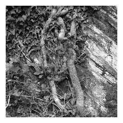 Racines (DavidB1977) Tags: fujifilm x100f monochrome bw nb france champagneardennes ardennes bognysurmeuse racines