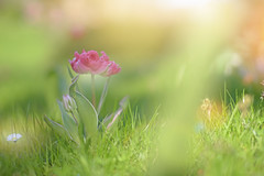 My Wild Garden... (KissThePixel) Tags: tulip tulips nature pinktulips wildflower nikon nikond750 50mm f14 garden cottagegarden cottage bokeh beautiful beauty macro perspective dof depthoffield dofalicious bokehlicious spring april gardener light
