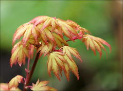 Fresh Growth (jo92photos) Tags: tree acer japanesemaple spring new bright colours 15challengeswinner