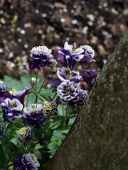 Aquilegia.. (quarzonero ...Aldo A...) Tags: aquilegia flower nature natura spring coth alittlebeauty
