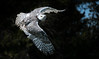 Snowy Flight (rmikulec) Tags: owl captive snowy canadian raptor spring white wing