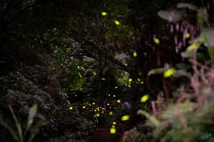 螢火蟲 (迷惘的人生) Tags: 台北 新北市 台灣 tw canon 5d3 5dⅲ 50mm 50l 土城 青雲路 螢火蟲