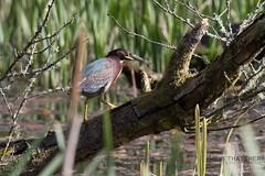 Green Heron (rhys.thatcher) Tags: birds british greenheron heron llanmill pembrokeshire