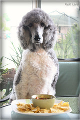 Dogs should never be in a place celebrating Cinco de Mayo without a Margarita 18/52 (SpooAddicts & the SpooCrew) Tags: cincodemayo margarita myles poodle standardpoodle partipoodle drinkingpoodle celebratingpoodle