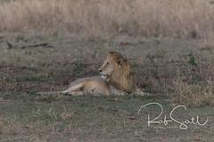 Male Lion (robsall) Tags: 2016 500mm 7dmark2 7dmarkii 7dm2 7dmii africa africatourism africawildlifephotography africanwildlife big bigcat bigcats canon canon500mmf4lisiiusm canon500mmf4 canon500mmf4lii canon500mmf4ii canon7dmark2 canon7dmarkii canon7d2 canon7dm2 canoneos canoneos7dmark2 canoneos7dm2 carnivore cat endangered family feline largefelines lion lioness lions mammal pantheraleo predator robsallaeiral robsalldrone robsalldronephotography robsallphotography robsallwildlifephotography tanzania tanzania2016 vacation vulnerable mararegion