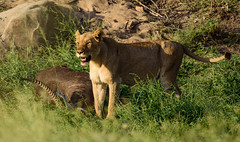 Lion with a Waterbuck kill (PeteWebster) Tags: africa krugernationalpark southafrica lion lioness mammal