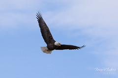 Female Bald Eagle stretches her wings - 4 of 30