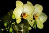 just a couple of pretty flowers (oldogs) Tags: phalaenopsis orchid yellowflower bloom flower flowerbud spike mothorchid