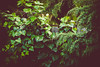 overgrown [Day 3387] (brianjmatis) Tags: ivy trees fence overgrown nature photoaday plants project365 sanluisobispo california unitedstates us