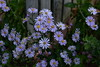 """Blue Aster (Dreaming of the Sea) Tags: smileonsaturday flowers daisy spring 2017 blueflower greenleaves nikond7200 tamronsp2470mmf28divcusd """"spring flower 20172018"""" springflower20172018"""