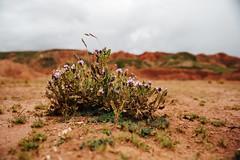 survival (almostsummersky) Tags: grow rock sand altiplano desert purple bolivia southamerica small sabbatical macro soil dirt green plant hills flower flowering
