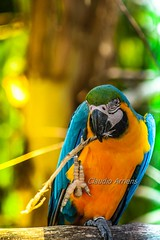 Arara (Claudio Arriens) Tags: ave arara brasil pássaro bird canonef75300mmf456usm canoneos40d natureza