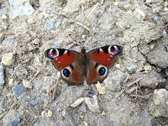 Butterfly 1641 (+1200000 views!) Tags: butterfly borboleta farfalla mariposa papillon schmetterling فراشة