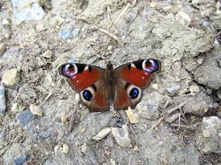 Butterfly 1641