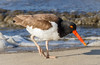 American Oystercatcher (tresed47) Tags: 2018 201804apr 20180418newjerseybirds americanoystercatcher april birds canon7d content ebforsythenwr folder newjersey peterscamera petersphotos places season shorebirds spring takenby us ngc npc