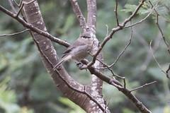 Dusky Robin (Baractus) Tags: dusky robin john oates mountain valley tasmania australia inala nature tours