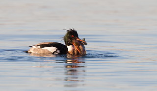 Red-breasted Merganser male with fish